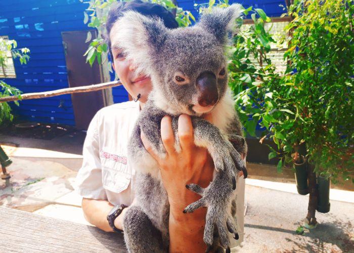 ドリームワールドのコアラ